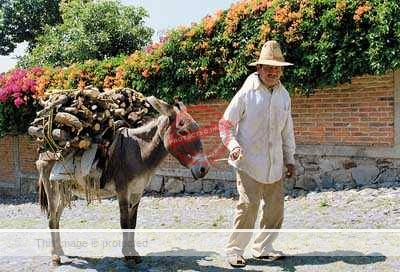Jack Weatherington: Burro carrying firewood, Ajijic. Photo reproduced by kind permission of Mexconnect.com