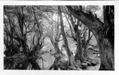 Herbert Johnson. c. 1943. Camecuaro park (near Zamora)